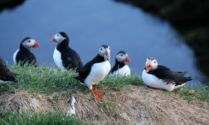 Islande Iceland macareux puffin