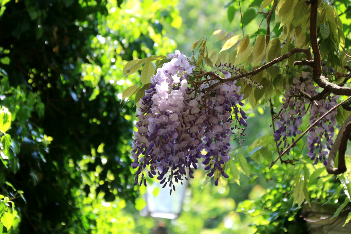 belleville paris glycine wisteria